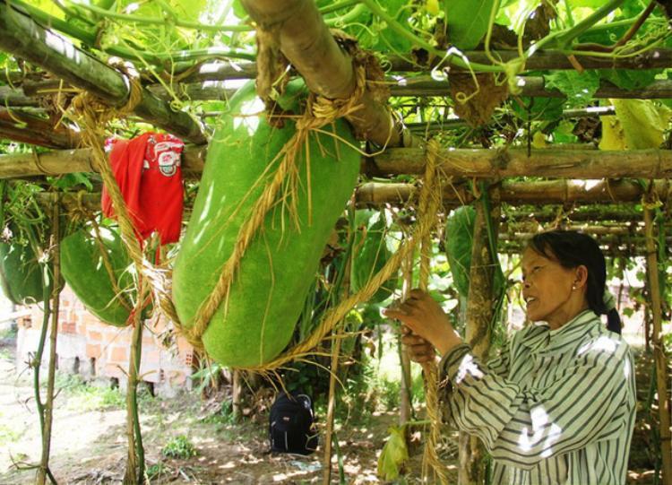 Theo người dân ở Bàu Chánh Trạch, từ tháng 10 đến tháng 11, người dân nơi ở đây ra vườn để làm đất gieo hạt bí. Đến tháng Chạp, người dân làm giàn chắc chắn cho bí leo.
