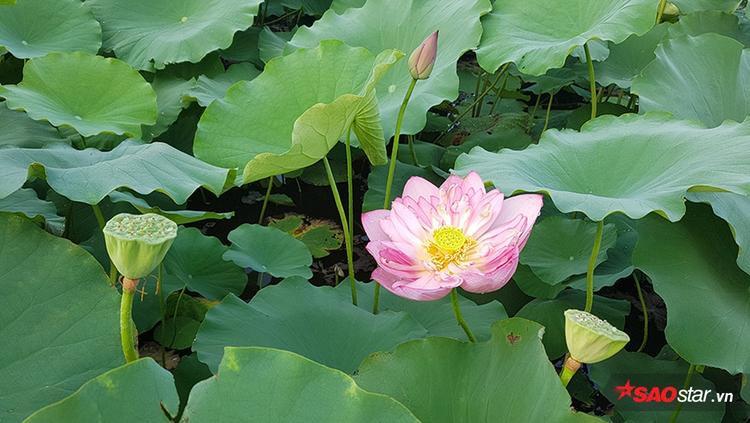 Những bông hoa xòe nở hết cỡ, nhiều bông đã rụng cánh và phát triển đài sen để nuôi dưỡng hạt bên trong.
