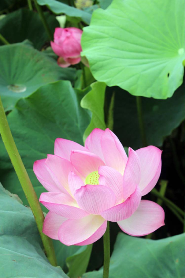Không có loại hoa nào bình dị và mộc mạc như hoa sen.