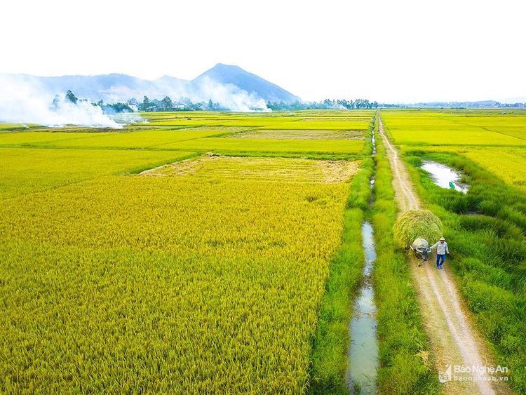 Tấm thảm vàng rực trải dài khắp đồng quê xứ Nghệ. Ảnh: Trung Hà