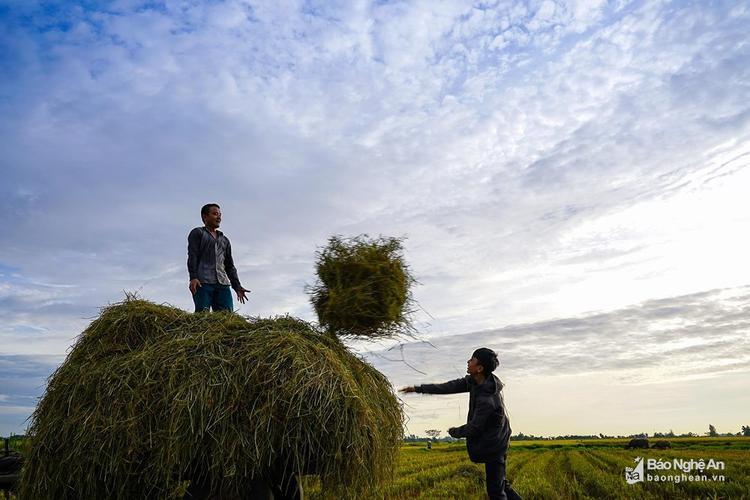 """""""Lúa gặt rồi còn để lại rơm thơm"""". Ảnh: Hồ Đình Chiến"""