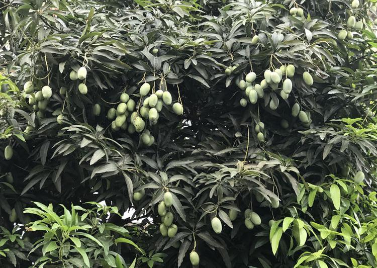 Người dân ở khu này cũng chia sẻ, lần đầu tiên họ thấy xoài trồng ở trên phố mà lại được mùa, quả nhiều đến vậy.