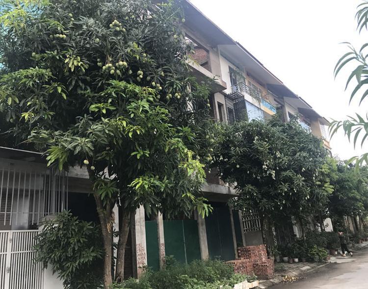 Những cây xoài trên phố Hà Nội bất ngờ cho quả xoài trĩu cành.