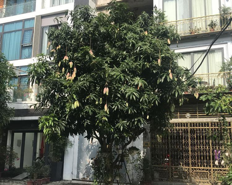 Tại một khu đô thị ở phố Định Công (Hoàng Mai, Hà Nội), xoài được trồng trên vỉa hè trước nhà dân đều được mùa.
