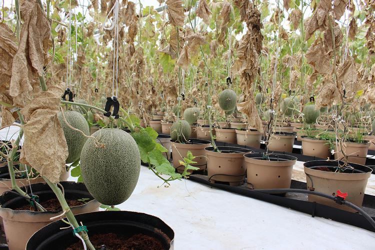Những cây dưa được rút nước về trái để ung cấp chấp dinh dưỡng đầy đủ, chuẩn bị thu hoạch