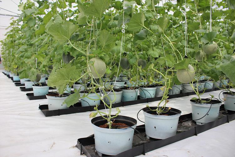 Vườn dưa lưới được trồng theo mô hình nhà màn sạch sẽ, tránh mọi ô nhiễm từ bệnh ngoài