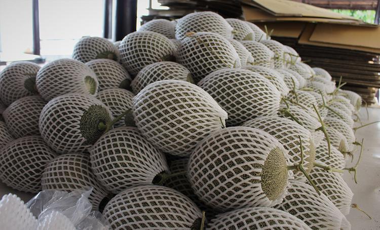 Những trái dưa lưới đã được thu hoạch và đưa vào bảo quảo