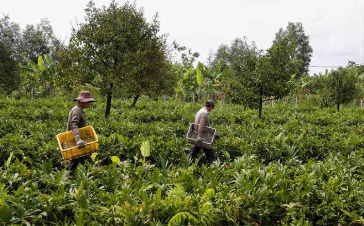 Từ 6h, ông Đoàn Văn Đuốc và Lê Văn Nghiêm (cùng 62 tuổi, xã Trung An, huyện Củ Chi, TP HCM) đến vườn rau móp - đặc sản miền Đông Nam Bộ - rộng gần một ha để hái rau cho chủ vườn.