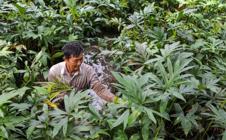 """Để trồng rau móp, người dân đào mương rộng dẫn nước từ kênh rạch vào. """"Cách trồng như gieo mạ, cứ cắm cây con xuống rồi để chúng tự phát triển, không cần chăm sóc nhiều. Sau một năm trồng thì có thể thu hoạch được"""", ông Đuốc chia sẻ."""