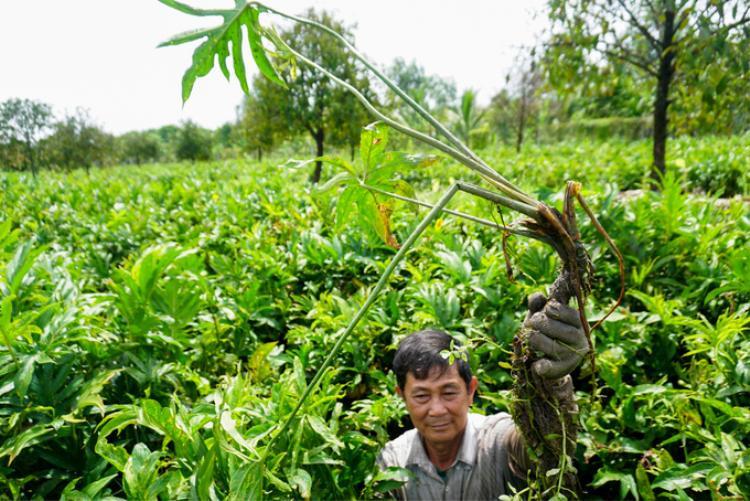 """""""Trước kia rau móp vốn mọc hoang dại ở mé sông, đọt non của cây được hái chế biến các món ăn. Hơn chục năm nay rau này trở thành đặc sản nên người dân trong xã trồng nhiều. Người nào không có đất rộng thì đi hái thuê. Tôi hái cũng được chục năm nay rồi"""", ông Đuốc cho biết."""