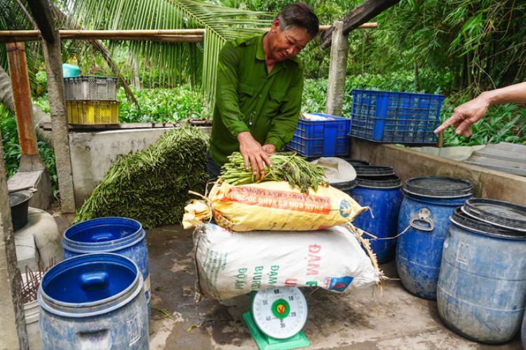 Thương lái đến tận nhà mua rau với giá trung bình 20.000 - 25.000 đồng một ký.