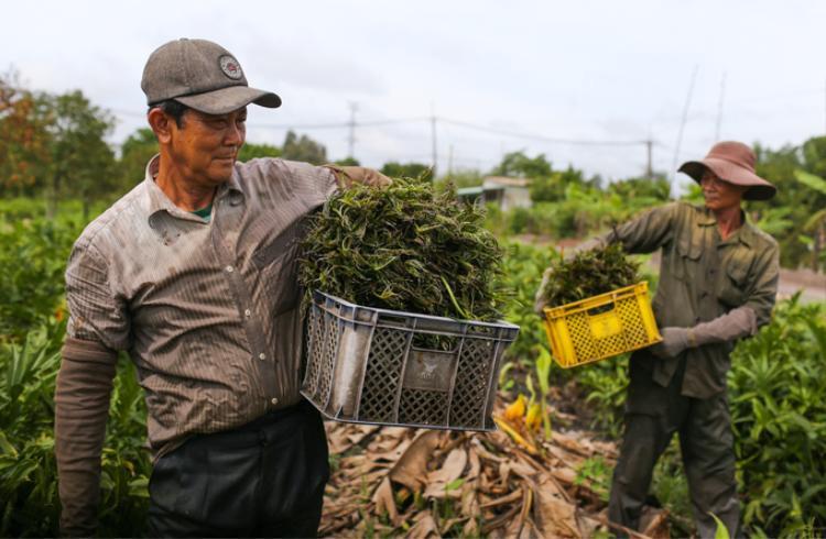 """Công việc hái rau chỉ diễn ra từ sáng sớm đến 10h30 kết thúc để kịp giao rau cho thương lái. Với mỗi cân rau, người hái được chủ vườn trả công 6.000 đồng. """"Trung bình mỗi ngày chúng tôi hái được khoảng 30 ký, hôm nào cố gắng hơn thì được 50 ký, tính ra mỗi ngày cũng thu nhập được 200.00 đồng"""", ông Đuốc cho biết."""