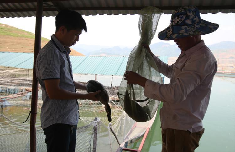 Vịt thương phẩm bán cho các nhà hàng ở Điện Biên, Sơn La. Trung bình mỗi gia đình nuôi vịt trời ở lòng hồ thuỷ điện Sơn La bán một lứa mỗi năm với khoảng hơn 2.000 con, thu hơn 300 triệu đồng.