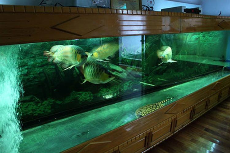 Thủy cung' của năm chú huyết long tại nhà anh Chính Ngọc - một người chơi cá rồng nổi tiếng ở Hà Nội.