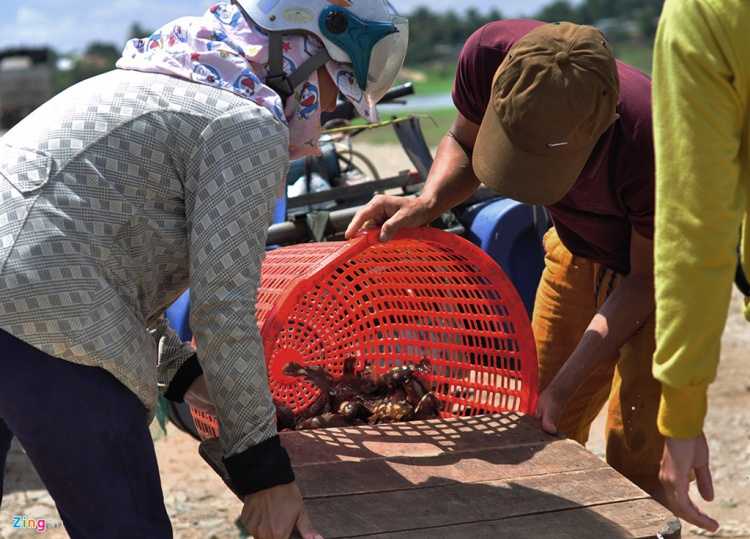 Một ngư dân đổ mớ cá rô vừa bắt được ở sông vào thùng để mang đi bán.