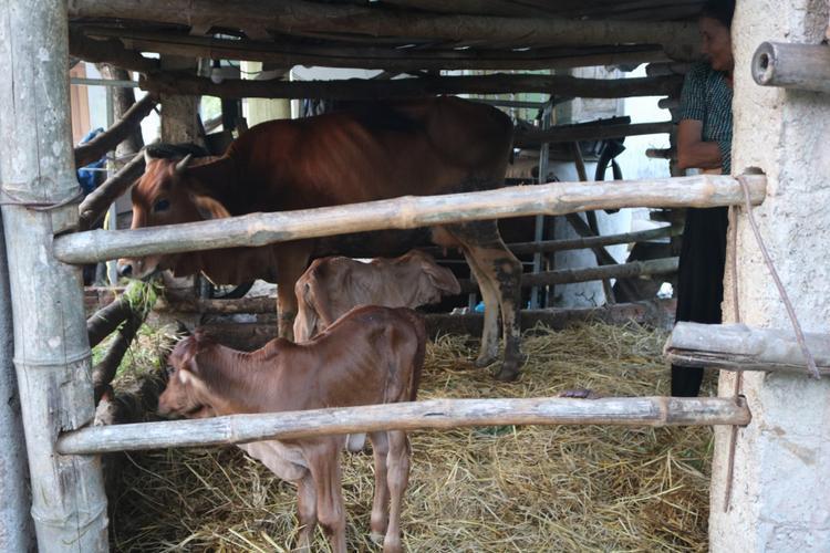 2 con bê sinh đôi tại nhà bà Vân.