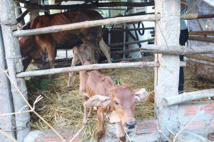 Cả 2 bê con đều khỏe mạnh và ăn uống cùng mẹ.