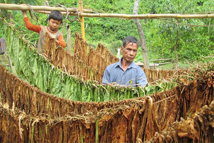 Ông Hồ Văn Ky trồng thuốc lá ở thung lũng Ka Ruông, phơi khô rồi đưa ra trung tâm đổi nhu yếu phẩm. Ảnh: Hoàng Táo