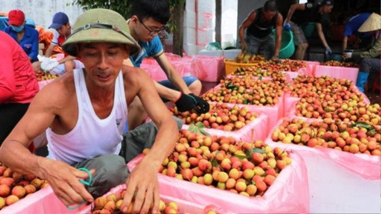 Huyện Thanh Hà có cả trăm điểm thu mua, sơ chế, đóng gói vải xuất khẩu. Ảnh: Giang Chinh