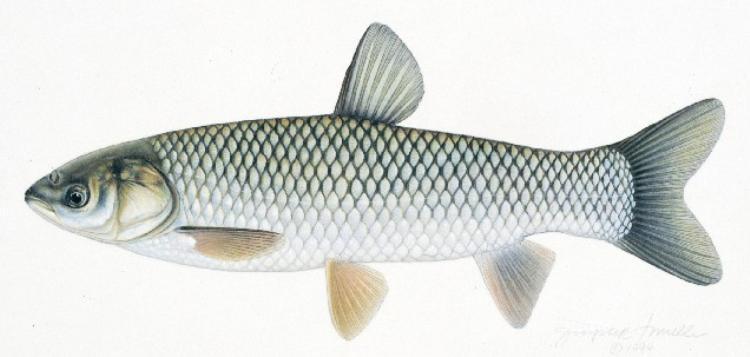 Hình dạng thông thường của một con cá trắm cỏ.