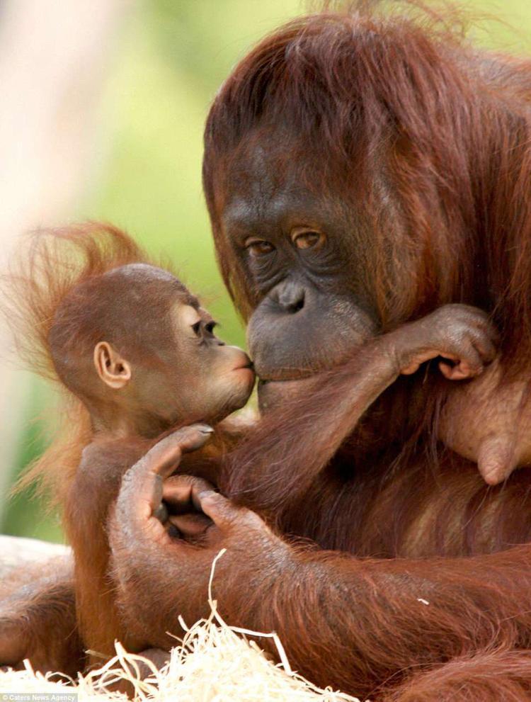 """Indah chỉ 8 tháng tuổi nhưng trông rất tuyệt với mái đầu hói khi chơi đùa cùng mẹ Samboja. Khi đười ươi mẹ chỉ lên môi, dường như muốn một nụ hôn, """"cô con gái nhỏ"""" liền hôn mẹ với niềm hạnh phúc hiện rõ trên gương mặt."""