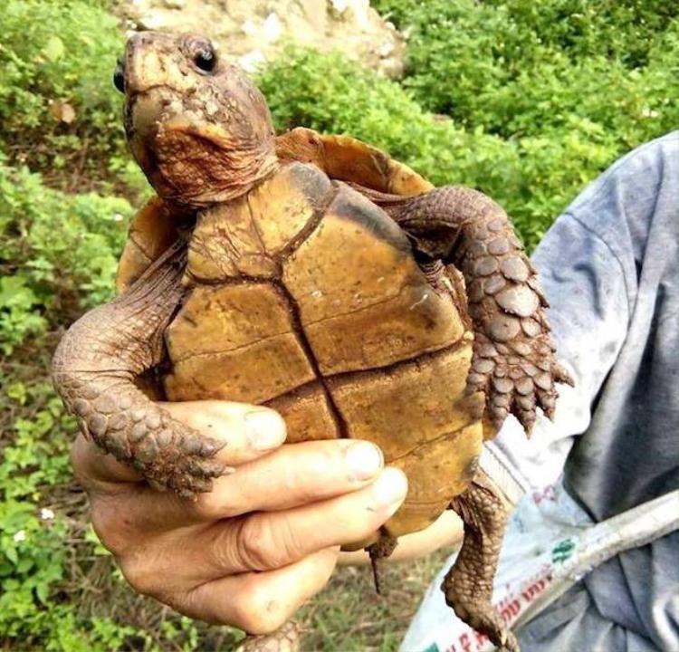 Cá thể rùa màu vàng óng được Thắng mua lại của người dân đi rừng. (Ảnh: Hùng Cường).