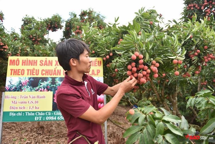 Vải thiều Lục Ngạn (Bắc Giang) năm nay được mùa. Để đảm bảo chất lượng bán ra tốt nhất, quả vải được lựa chọn kỹ lưỡng ngay từ khi còn trên cây.