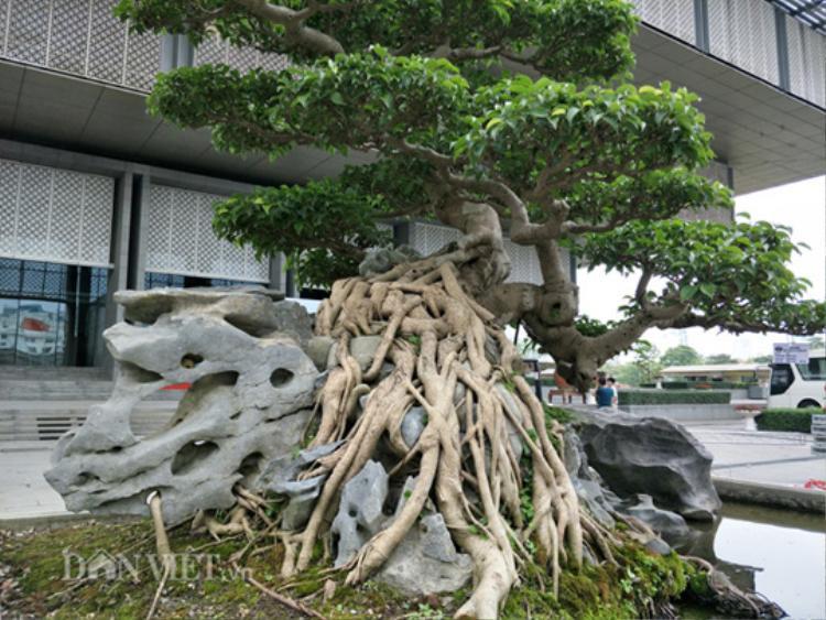 """Đến nay, sanh bonsai """"Nghinh phong"""" được Cường họa sỹ (giảng viên chính trường ĐHSP Nghệ thuật Trung Ương đã về hưu) chăm sóc và uốn, cắt tỉa trên dưới 15 năm."""