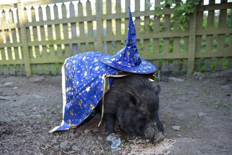 Chú lợn tiên tri Marcus.