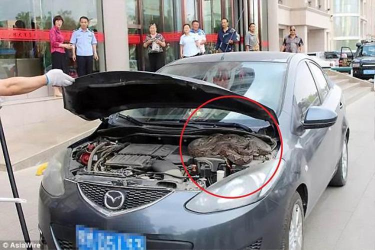 Kinh hoàng phát hiện trăn 'khủng' trong động cơ xe ô tô