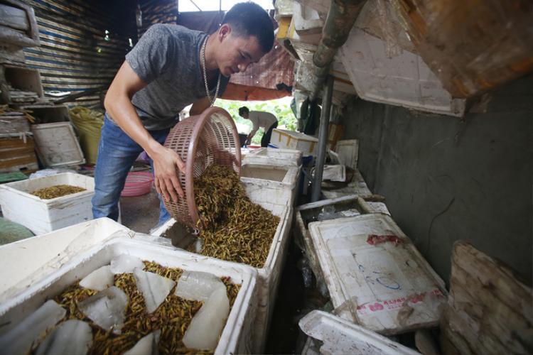 Anh Nguyễn Ngọc Hiển cho hay, sau khi sơ chế, châu chấu sẽ được đóng thùng, ướp đá chở đến các nhà hàng ở trung tâm Hà Nội. Giá mỗi kg châu chấu bán buôn là 160.000 đồng.