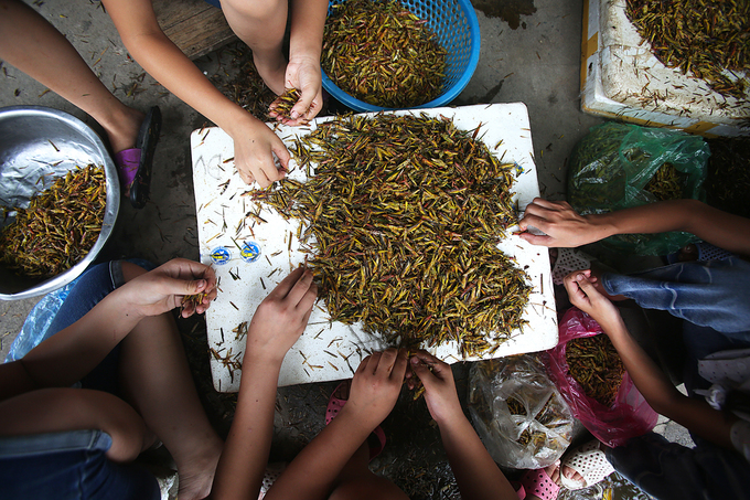 Đến xã Lê Thanh những ngày này, khách dễ dàng nhìn thấy cảnh cả nhà ngồi sơ chế châu chấu, tiếng cười nói rôm rả.