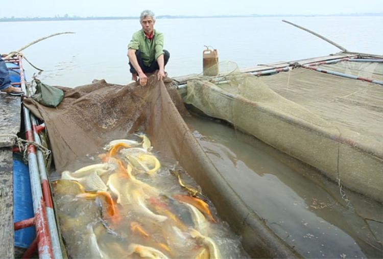 Đó là trang trại nuôi cá Koi của ông Phan Văn Sơn tại khúc cua sông Hồng, xã Mỹ Tân, huyện Mỹ Lộc, tỉnh Nam Định.