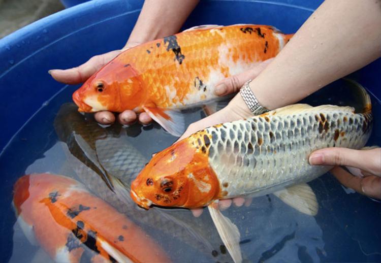 Sau 2 năm nghiên cứu, học hỏi, ông Sơn đã nhân giống thành công cá Koi, cũng như hiểu rõ về tập tính sinh hoạt của loài cá này. Sau đó, ông Sơn chọn lọc những con cá Koi đẹp bán cho các chủ khu du lịch, giới đại gia với giá từ vài triệu đến hàng chục triệu đồng/con.