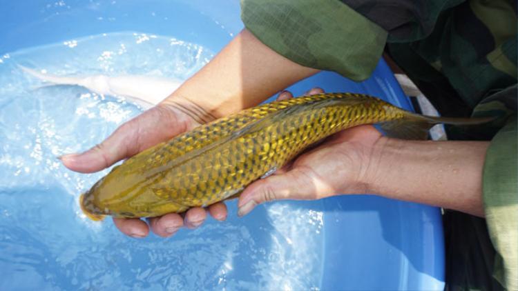 Theo ông Sơn, trên đỉnh đầu của cá Koi (Tancho) có điểm chấm tròn màu đỏ nổi bật và được xem như hình ảnh ông mặt trời mọc, đón chào một ngày mới. Cũng chính vì những điểm thu hút, độc đáo này mà hiện nay loài cá Koi (Tancho) đang rất thịnh hành và được nhiều người yêu thích.