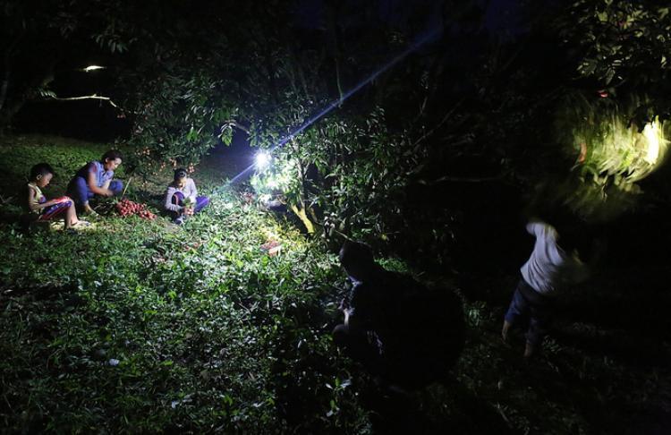 Gần hai tuần nay, người dân các xã của huyện Lục Ngan (Bắc Giang) tập trung thu hoạch vải thiều chính vụ. Họ dậy từ 2h đêm, chong đèn hái vải để kịp đưa xuống chợ bán trong buổi sáng.