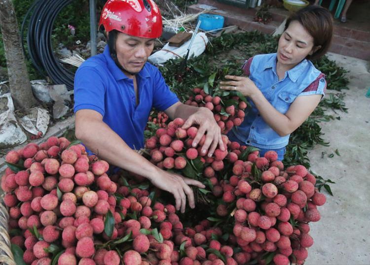 5h30 sáng, chuyến vải đầu tiên được đưa ra chợ bán. Mỗi ngày gia đình chi Toan thu hoạch và bán ra chợ khoảng 300 kg vải.