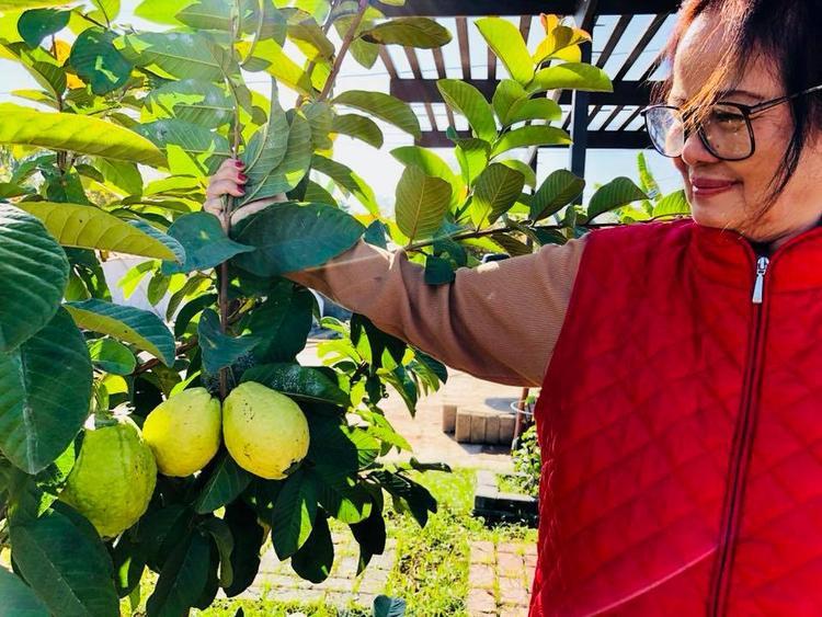 Mẹ nam ca sĩ Bằng Kiều bên cây ổi sai trĩu quả đến độ thu hoạch.