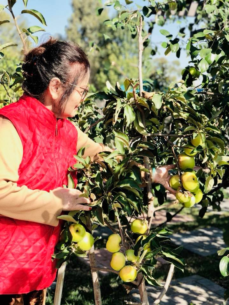 Một cây táo tây trong khu vườn của Bằng Kiều.