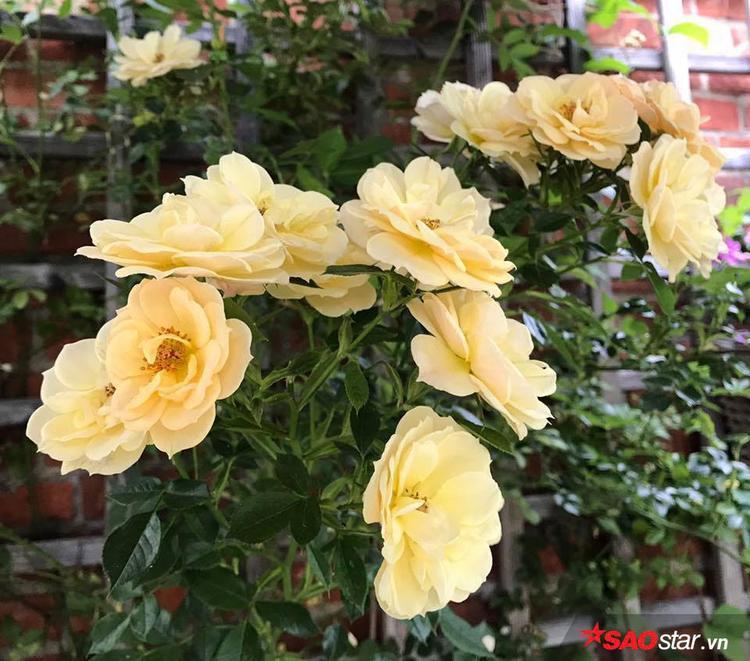 """Phần lớn thời gian chị Xinh dành chăm sóc khu vườn của mình. Chị chia sẻ, hồng khá """"tiểu thư"""" vì vậy để chăm sóc cần rất nhiều công sức và cả tình yêu chị mới có được khu vườn như bây giờ."""