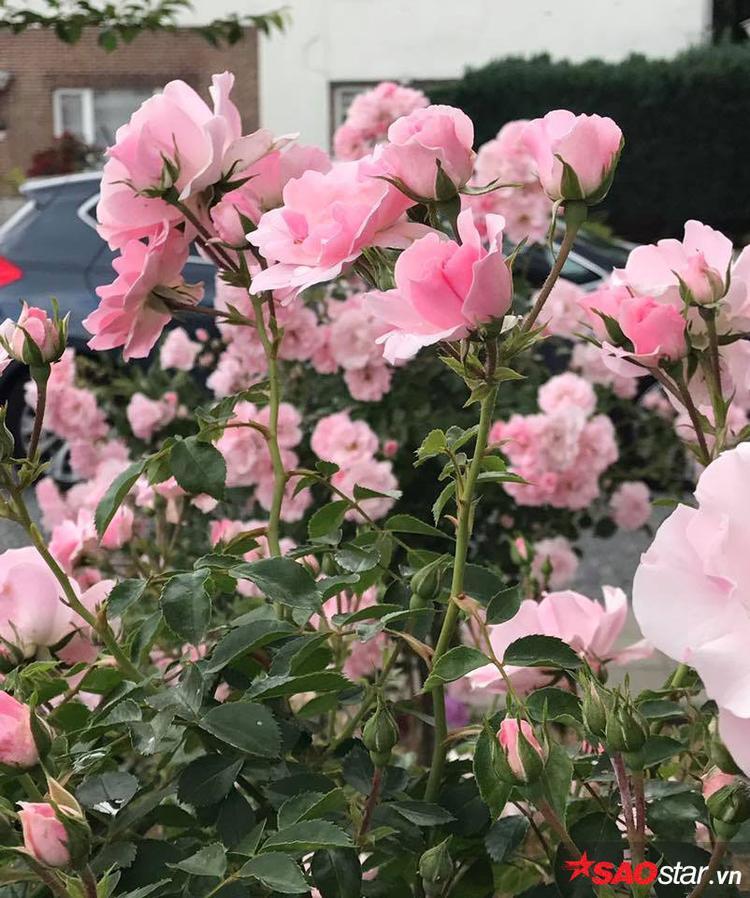 Phía trước cửa nhà là hai cây hồng thân gỗ sai hoa khiến cho bất cứ ai đi qua cũng phải chú ý.