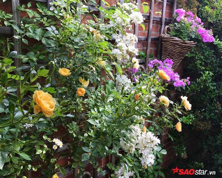 Chị Phạm Xinh chia sẻ với phóng viên Saostar, hoa hồng là loài chiếm số lượng nhiều nhất trong khu vườn.
