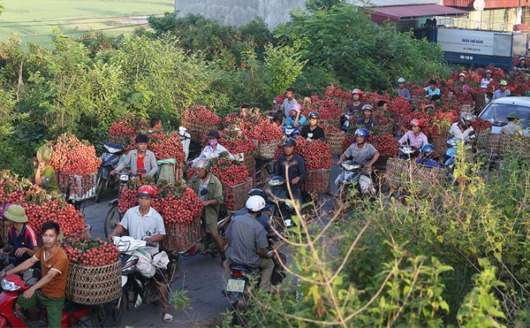 Quốc lộ 279 đoạn cắt qua hai xã Tân Sơn và Cấm Sơn (Lục Ngạn, Bắc Giang) những ngày này tấp nập người mua bán vải. Cảnh ùn tắc kéo dài hàng cây số. Đây là những xã vùng cao xa nhất của huyện Lục Ngạn, cách thành phố 80 km, trồng được giống vải có chất lượng ngon.