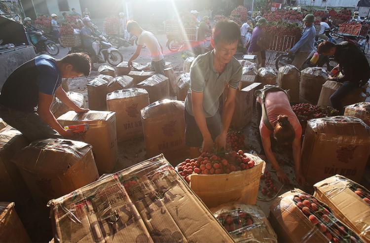 Vải xuất khẩu nhanh chóng được đóng thùng giấy rồi chuyển lên cửa khẩu Thanh Thủy (Hà Giang) và Hữu Nghị (Lạng Sơn) chờ thông quan.