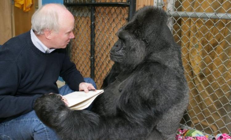 Nghệ sĩRichard Stone giao tiếp với Koko. Ảnh: Rex