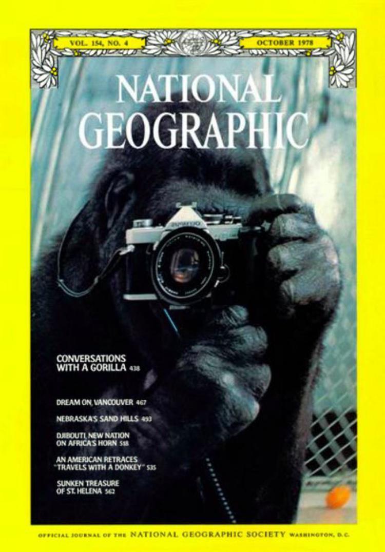 Koko trong bức ảnh trên trang bìa tạp chí National Geographic năm 1978 với động tác tự chụp mình qua gương. Ảnh:National Geographic