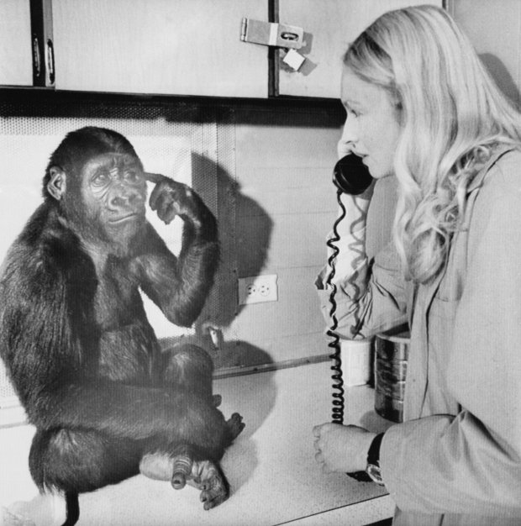 Koko nổi tiếng với khả năng lắng nghe ngôn ngữ ký hiệu từ con người. Trong ảnh, Koko giao tiếp với Tiến sĩ Penny rằng, nó muốn nghe điện thoại. Ảnh: