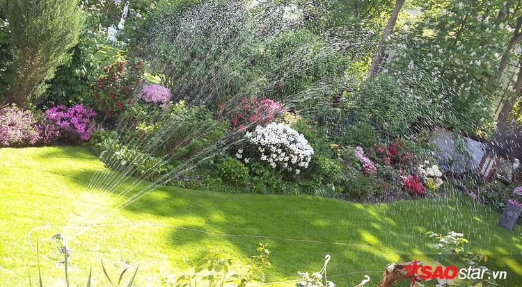 Mùa xuân và thu chị rải đạm cho thảm cỏ mỗi mùa 1 lần, mùa hè chị sử dụng máy tưới tự động để chăm sóc.