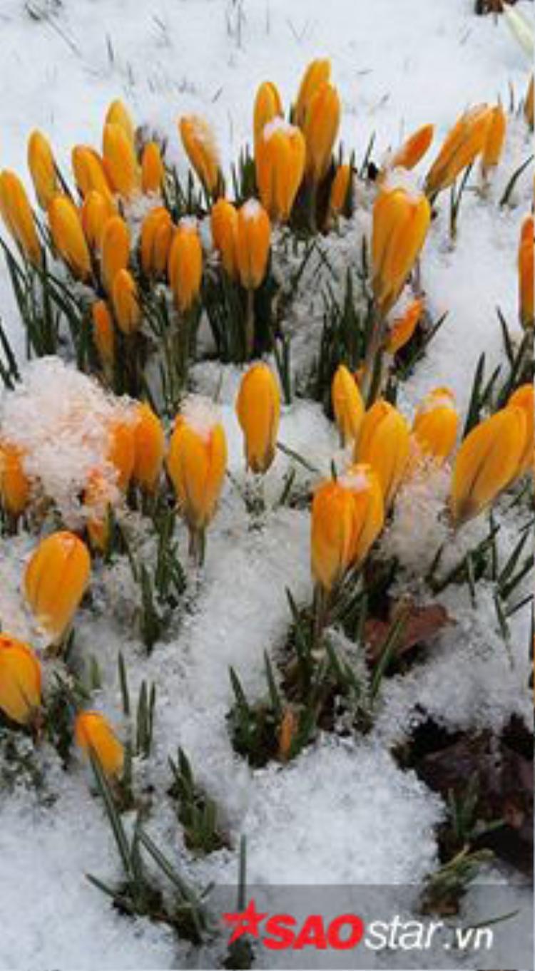 Hoa Tulip nở giữa băng giá mùa đông.