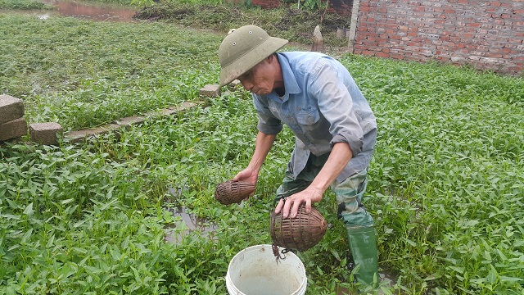 Ông Trần Văn Khanh đang đi đổ lờ cua đồng ở ruộng rau muống gần nhà.